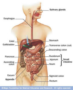An illustration of a body with the gastrointestinal tract outlined. Image used with permission from Mayo Clinic.