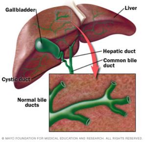 An illustration of a liver showing where the gallbladder is located